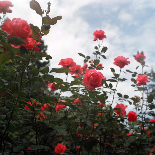 Roses / Jardin Botannique, mtl, p.Q 2009 / Annie-Ève Dumontier